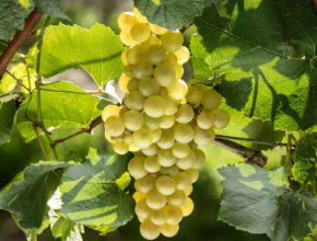 3-uva-chardonnay-creditos-wagner-meneguzzi-1